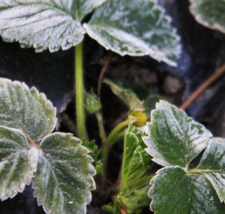 Jagoda tretirana sa biljnim antifrizom EkoFreez primena