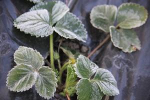 EkoFreez - organski biljni antifriz , antifriz za biljke , natural plant antifreez
