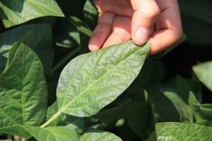 Soja tretirana sa EkoBooster 2 , organsko đubrivo i biostimulator