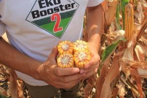 Ogled tretiran sa EkoBooster 2 , organsko đubrivo i biostimulator